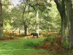 New Forest NP, Lyndhurst, England (east med wanderer) Tags: autumn trees england forest woodland hampshire pony newforest lyndhurst dennywood newforestnationalpark worldtrekker