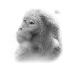 Macaque japonais fond blanc (Pics_Fab) Tags: bw monkey nb primate singe macaque macaquejaponais zooamnville picsfab