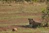 DSC_0259 (Arno Meintjes Wildlife) Tags: africa nature animal southafrica wildlife lion reserve safari krugerpark pantheraleo arnomeintjes