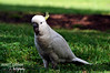 Australian Cockatoo (janet_grimaphotography) Tags: birds animals photography parrot australia williamstown cockatoo