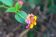 Flower (Rubel Miah) Tags: flower bangladesh niceflower brahmanbaria singerbil rubelphotography