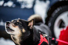 Barking (moaan) Tags: dog japan dof bokeh jp utata aomori 2015 japanesedog kaiken thelittledoglaughed canoneos5dmarkiii shimofuro carlzeissmakroplanart2100ze shimofurospa kazamauramura littledoglaughedstories