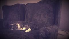 Library Cat (Kenneth Wesley Earley) Tags: cat chair spokane chairs sleep library sleepingcat rest spokanewa wingbackchair 99205 emersongarfield
