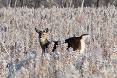 November 16, 2014 - A whitetail deer doe on a cold morning at the Rocky Mountain Arsenal. (Tony's Takes)
