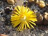 107 (BobTravels) Tags: plant stone bob lithops lithop messem bobwitney