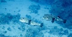 Porcupinefish - Diodon hystrix (Daniel French Underwater Photography) Tags: sea water underwater egypt sharmelsheikh scuba scubadiving underwaterphotography sonydscrx100m2