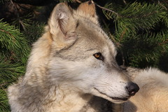 The Beauty of Wolves - not wild (bbosica20) Tags: nature animal mammal wolf wildlife timberwolf grizzlyandwolfdiscoverycenter