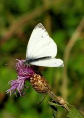 repcelepke / Green-veined White (debreczeniemoke) Tags: autumn plant flower male butterfly meadow virág greenveinedwhite pieridae centaureajacea pierisnapi növény pillangó ősz lepke piéridedunavet rét rapsweisling pieridedelnavone hím canonpowershotsx20is repcelepke fehérlepkék albiliţanapului