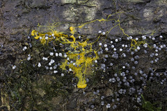 Badhamia utricularis slime mould on the move - first pic (Steve Balcombe) Tags: yellow somerset slime mould plasmodium utricularis badhamia langfordheathfield