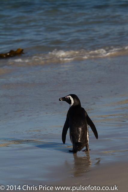 Jackass Penguins, Boulders Beach, South Africa