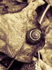 Snail (David Cucaln) Tags: autumn naturaleza macro fall nature leaves 35mm hojas leaf snail olympus textures lith otoo texturas caracol autumm tardor 2014 e510 cucalon davidcucalon