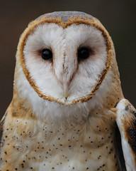 Barn Owl (Tyto alba) (Andrew wildlife) Tags: bird canon wildlife owl f56 barnowl 400mm