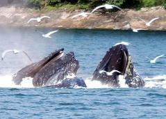 BUBBLE NEST FEEDING (walladucks) Tags: feeding whale humpback bubblenest