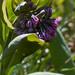 mertensia virginica, ouryard, jdy093 XX200904032092.jpg