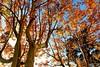 Infinies rousseurs de Luminy (annamaria_iezzi) Tags: automne marseille couleurs feuilles platanes luminy rousseurs complementaires