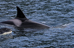 Adult orca swimming with very young orca (Paul Cottis) Tags: canada dolphin 14 killer whale orca mrsc greatbearrainforest sept25 islandroamer paulcottis