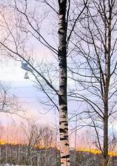 December sunset (totinkoti) Tags: sunset december puut koivut tossut