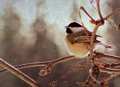 I heard a bird sing (anniedaisybaby) Tags: winter snow canada cold bird nature sunshine backlight backyard poem rip vine manitoba chickadee interlake oliverherford texturesthanksto flypapertextures iheardabirdsing keratinfrank beautiesbeasts gestaltgroup forbenbjörn oflightpainterssociety