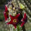 Echidnopsis sharpei (shumpei_sano_exp3) Tags: africa camera flower macro nature digital southafrica succulent nikon dof close searchthebest martin kenya bokeh photograph valley tiny d200 dslr kerio asclepiadaceae naturesfinest 60mmf28micro asclepiad stapeliad nikonstunninggallery heigan echidnopsis archeri anawesomeshot 12may2007 d2670 mhsetbokeh mhsetstapeliads mhsetflowers