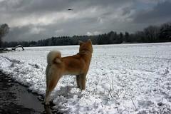 Wolf 'n Eagle (Samurai-Akita) Tags: winter dog snow bird dogs nature animal japan japanese off hund crow leash akita hunde krhe inu