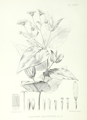n147_w1150 (BioDivLibrary) Tags: plants oceania harvarduniversitybotanylibraries bhl:page=45603256 dc:identifier=httpbiodiversitylibraryorgpage45603256 colorourcollections taxonomy:binomial=lipochaetaaprevalliana