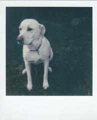 (ExtensionofMind) Tags: color film dogs vintage polaroid labrador instant polaroids bestfriend instantfilm aanlog impossiblefilm impossible600 impossiblecloseup