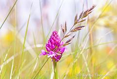 IMG_8090 (padraig thornton) Tags: pink ireland flower macro green nature grass yellow closeup canon outdoors eos colorful 7d wildflowers inisheer thornton 70200mm padraig greatphotographers pfjthorntongmailcom