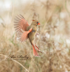 Female Northern Cardinal (JRIDLEY1) Tags: cardinaliscardinalis northerncardinal brightonmi jridley1 jimridley cardinalflying northerncardinalflying httpwwwjimridleyphotographycom