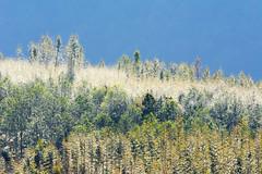Bamboo trees (Pai Shih) Tags: trees fall nature landscape autum taiwan bamboo