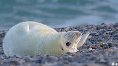 little white hedgehog - Seal pup, Robbenbaby, grey seal, Kegelrobbe, Halichoerus grypus @ Helgoland, Heligoland in december 2014 (Jan Rillich) Tags: sea sun nature beautiful beauty animal fauna digital photography eos grey photo spring sand flora december foto fotografie image jan wildlife dune picture free sunny insel seal northern dezember eastern nordsee sandstein robbe düne küste halichoerusgrypus grayseal 2014 greyseal helgoland animalphotography northernsea buntsandstein nordseeküste seerobbe heligoland kegelrobbe halichoerus grypus hundsrobbe janrillich rillich