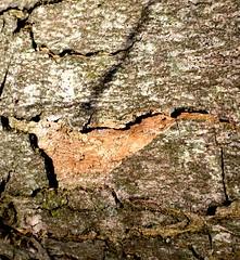 Baumrinden-Vogel? (swi_) Tags: tree bird struktur surface structure bark baum rinde figur vogel gestalt oberflche baumrinde barkbird baumrindenvogel