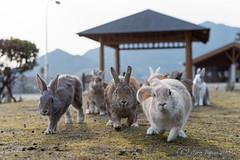 大久野島 ウサギ (GenJapan1986) Tags: travel rabbit animal japan hiroshima 日本 旅行 動物 ウサギ 離島 2015 大久野島 広島県 竹原市 nikond610