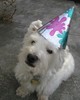 """12/12B ~ """"My Christmas Baby"""" (ellenc995) Tags: birthday christmas riley westie westhighlandwhiteterrier ruby3 coth supershot fantasticnature akob citrit pet500 pet100 rubyphotographer 100commentgroup alittlebeauty challengeclub coth5 ruby10 thesunshinegroup 12monthsfordogs14 december252014"""