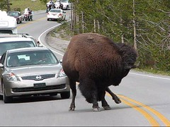 Furry Truck (JA Photography - Be There, Out There) Tags: buffalo yellowstonenationalpark bison wyomingusa