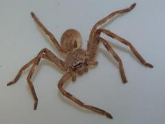 Sparassidae Huntsman spider DSCF5914 (Bill & Mark Bell) Tags: exmouth westernaustralia australia geo:town=exmouth geo:state=westernaustralia geo:country=australia geo:lon=11425453egeolat2217752sgeoalt8m 11425453e2217752salt8m taxonomy:kingdom=animalia animalia taxonomy:phylum=arthropoda arthropoda taxonomy:class=arachnida arachnida taxonomy:order=araneae araneae taxonomy:superfamily=sparassoidea sparassoidea taxonomy:family=sparassidae sparassidae taxonomycommonnamehuntsmanspider huntsmanspider spider