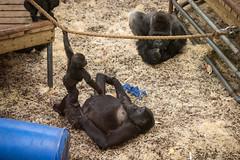 2015-01-15-10h49m16.BL7R0261 (A.J. Haverkamp) Tags: zoo gorilla arnhem thenetherlands burgerszoo dierentuin westernlowlandgorilla naika westelijkelaaglandgorilla canonef70200mmf28lisusmlens nirale httpwwwburgerszoonl pobarnhemthenetherlands dob01022005 dob23112013