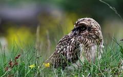 Brandugla (Asio flammeus) - Short-eared Owl (Elma_Ben) Tags: beautiful iceland juvenile shortearedowl asioflammeus beautifulbird canon400mmf56 icelandicnature icelandicbird brandugla canoneos7d elmaben