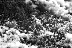 Green earlier (PaquiPhotography) Tags: winter white snow black cold macro tree monochrome sepia canon outside eos delicious neve mm tamron albero inverno 90 seppia fiocchi winterlicious ghaccio 1000d wintertine gricgio
