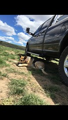 Watching her pickup (hartmannfirearmsllc) Tags: ram germanshepard semperfi devildog 3500 guarddog 2016