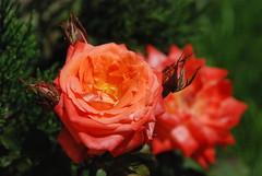 Dushanbe - Choikhona Kokhi Navruz Gardens - Rose (jrozwado) Tags: flower rose asia tajikistan dushanbe teahouse