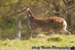 2016-05-04-049 (Andy Beattie Photography) Tags: uk england nature mammal photography europe photographer wildlife yorkshire deer fallowdeer halifax ungulate northyorkshire westyorkshire ripon eventoed pecora damadama hoofed andybeattie andybeattiephotography
