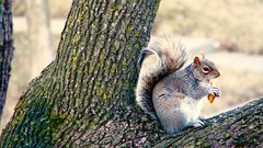 (Phylomax) Tags: animals animaux squirel cureuil
