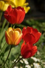 Tulpen (Elliott Bignell) Tags: flowers red flower rot yellow schweiz switzerland suisse tulips ostschweiz blumen gelb tulip svizzera blume blte tulpen tulpe blten flums blhen walenstadt berschis blht