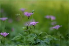 (gewoon-marieke) Tags: flowers nature garden spring nikon dof bokeh
