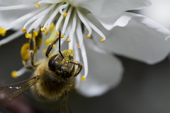 Save The Bees (adr_pentax) Tags: macro insect bee antennae cherryflower tamronspaf90mmf28dimacro pentaxk50