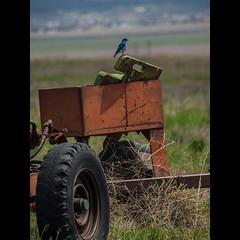 Found this little #bird while we were out #exploring #utahvalley #machine #wildlife #avian #nature #animal #olympus #mirrorless #flickr #utah #ruralexploration #ruralex #instagood #spring #photooftheday #blue (explorediscovershare) Tags: blue bird nature animal out found this utah spring flickr little wildlife exploring machine olympus we were while avian photooftheday utahvalley ruralexploration mirrorless ruralex instagram instagood