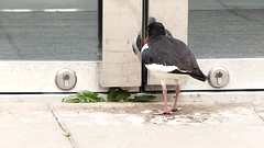 """Love IS blind........or """"My dear come out of there"""", Please ! (evisdotter) Tags: bird video spring fgel strandskata mirroronadoor"""
