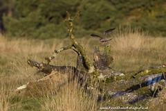 _TKF5735 (Tjeerdknierfotografie) Tags: landscape landschap hogeveluwe torenvalk roofvogels nphogeveluwe npdhv