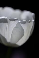 White Petals (haberlea) Tags: flower nature garden whiteflower petals tulip mygarden onblack