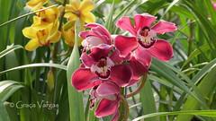 o r c h i d s ( Graa Vargas ) Tags: orchid flower orquidea graavargas cymbidiumxhybridum cimbdio 2016graavargasallrightsreserved 21109070716